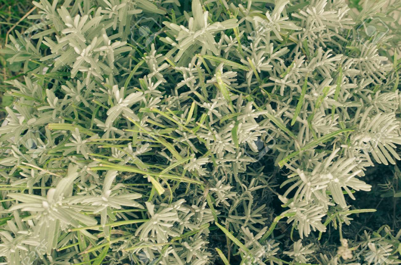close up of fresh lavender plant without flowers stock photo