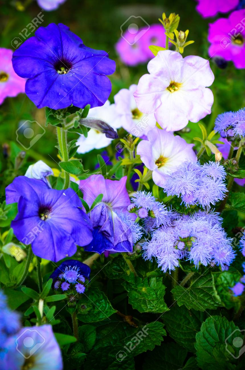 Colorful Petunia Flowers Close Up In Purple And White Colors Stock ...