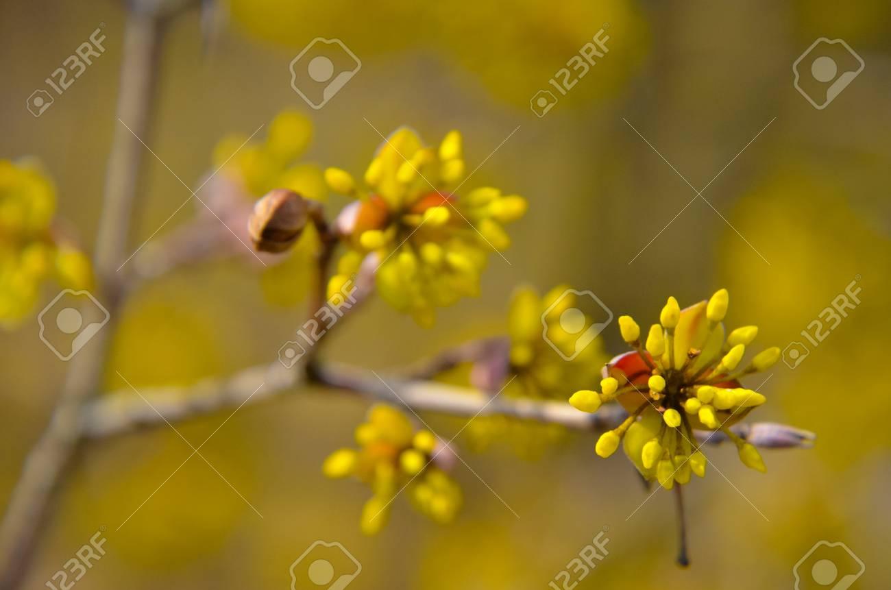European Cornel Tree Bossom With Yellow Flowers Stock Photo Picture