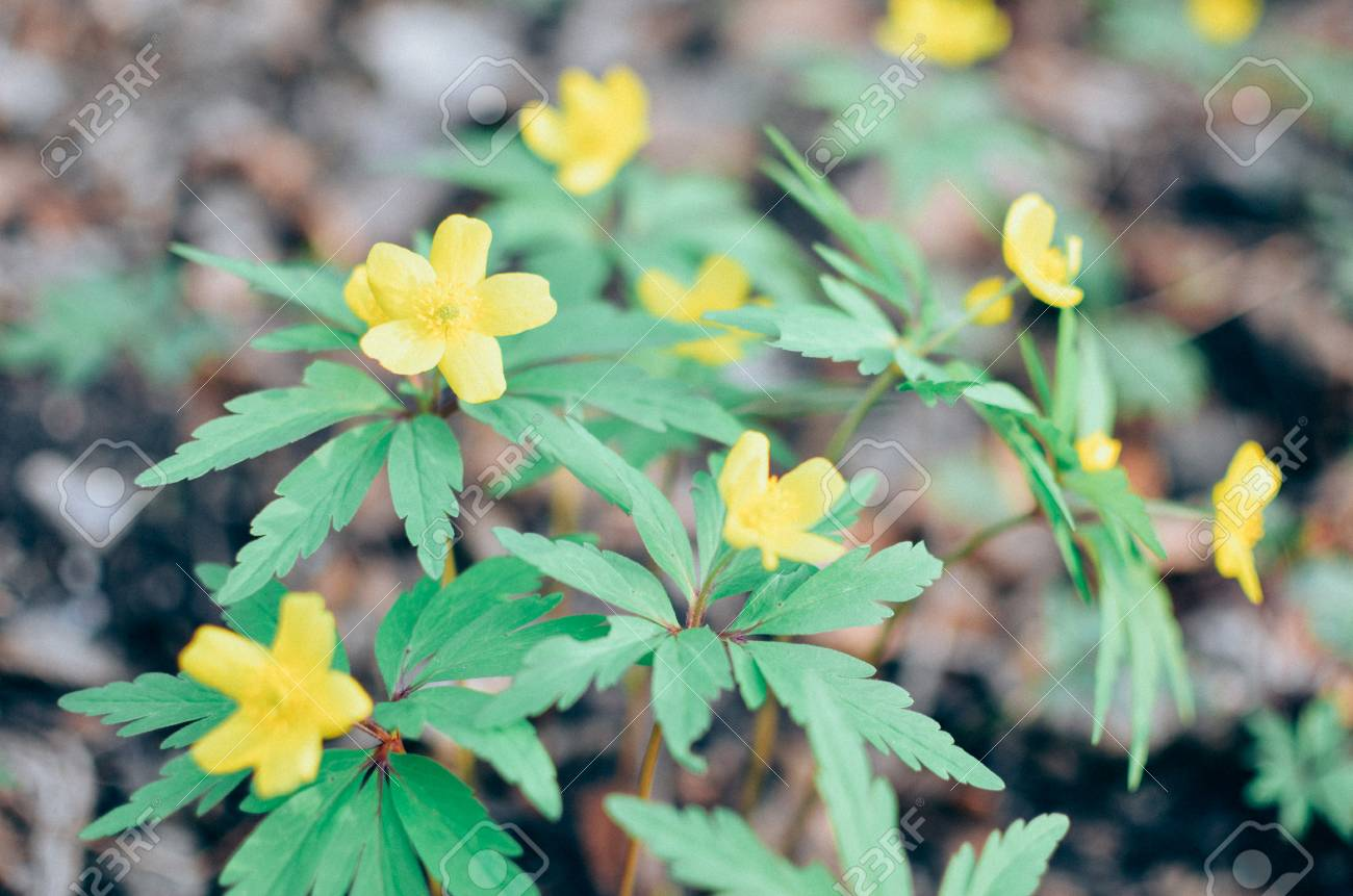 Flowers Of Yellow Anemone Yellow Wood Anemone Buttercup Anemone