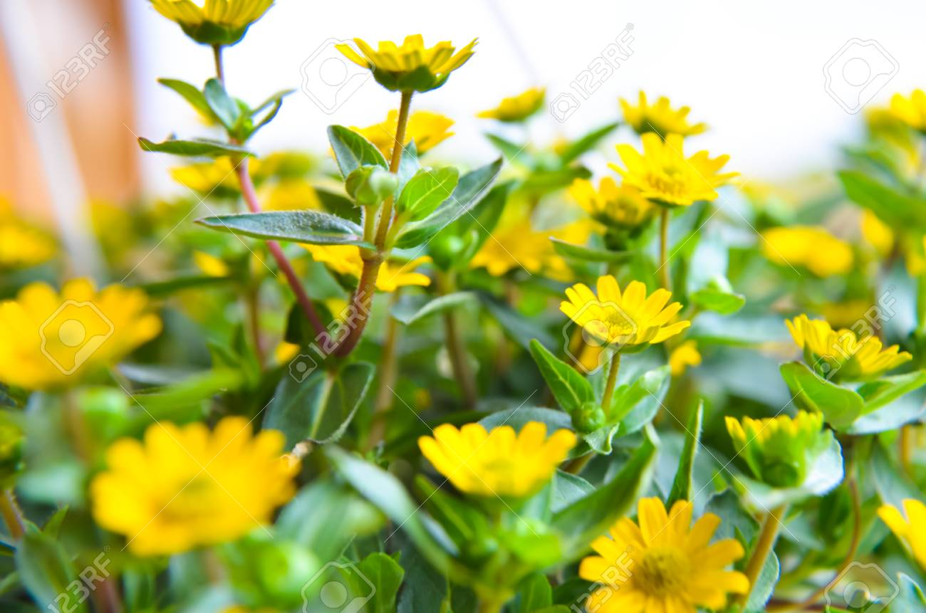 Small Yellow Flowers On The Wood Background And Green Leaves Stock