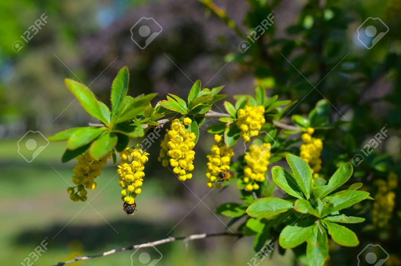 Fiori Gialli Cespuglio.Immagini Stock Filiale Di Fiori Gialli Di Barboncini Ilicifolia