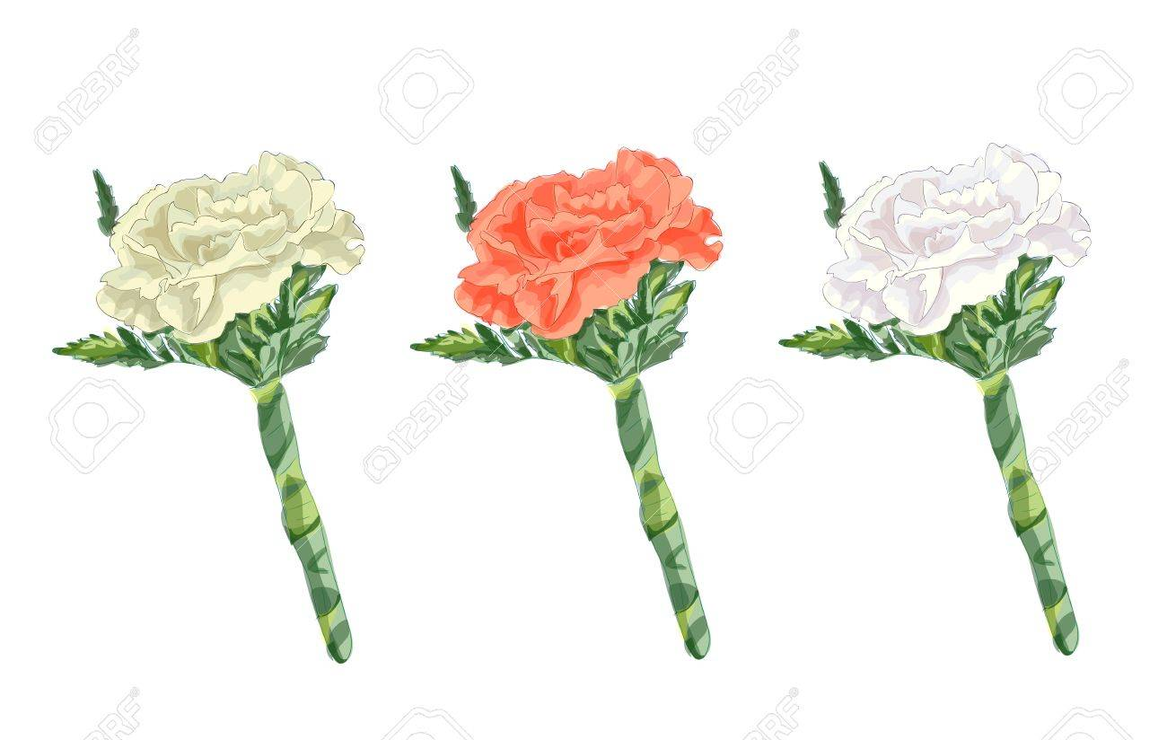 Boutonniere with a carnation. Vector image. Stock Vector - 13186175