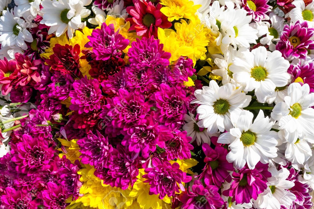 Background made of beautiful, colorful flowers of chrysanthemums and margaret. - 122031072