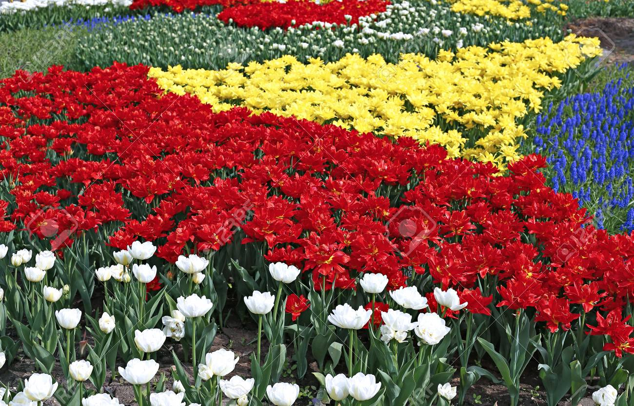 Many Beautiful Red Yellow And White Tulips And Blue Muscari Stock Photo Picture And Royalty Free Image Image 58768956