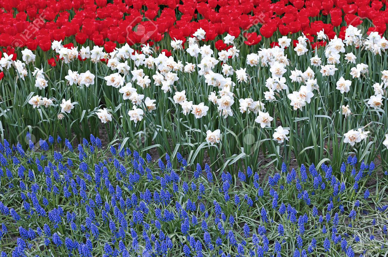 Flowerbed With Three Colored Flowers Red Tulips White Narcissus