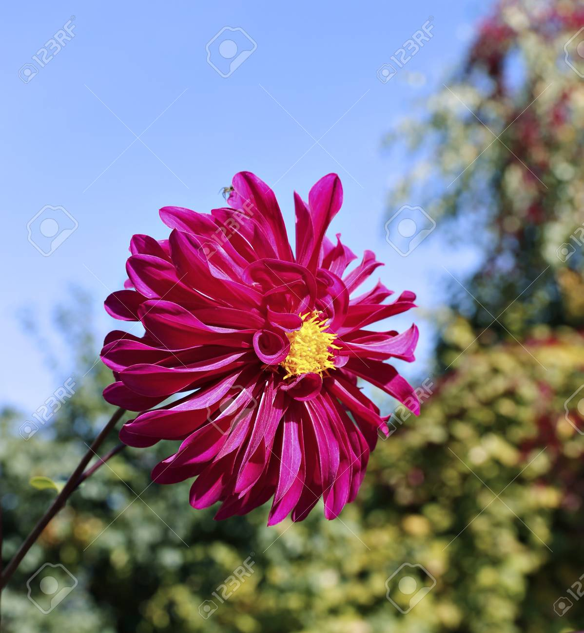 Red Dahlia Flower In Garden At Summer Stock Photo Picture And
