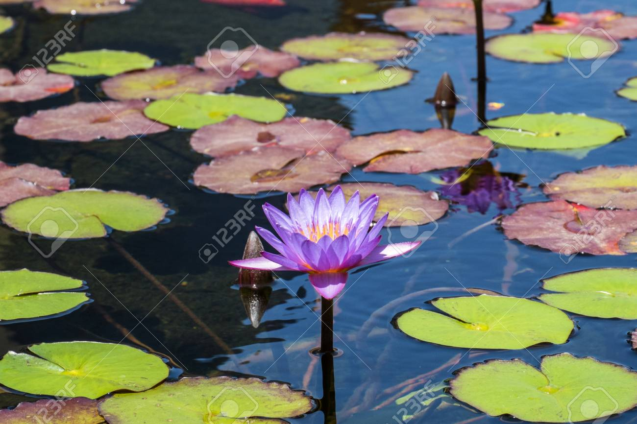 Flower Of Blue Egyptian Lotus In A Pond Nymphaea Caerulea Stock