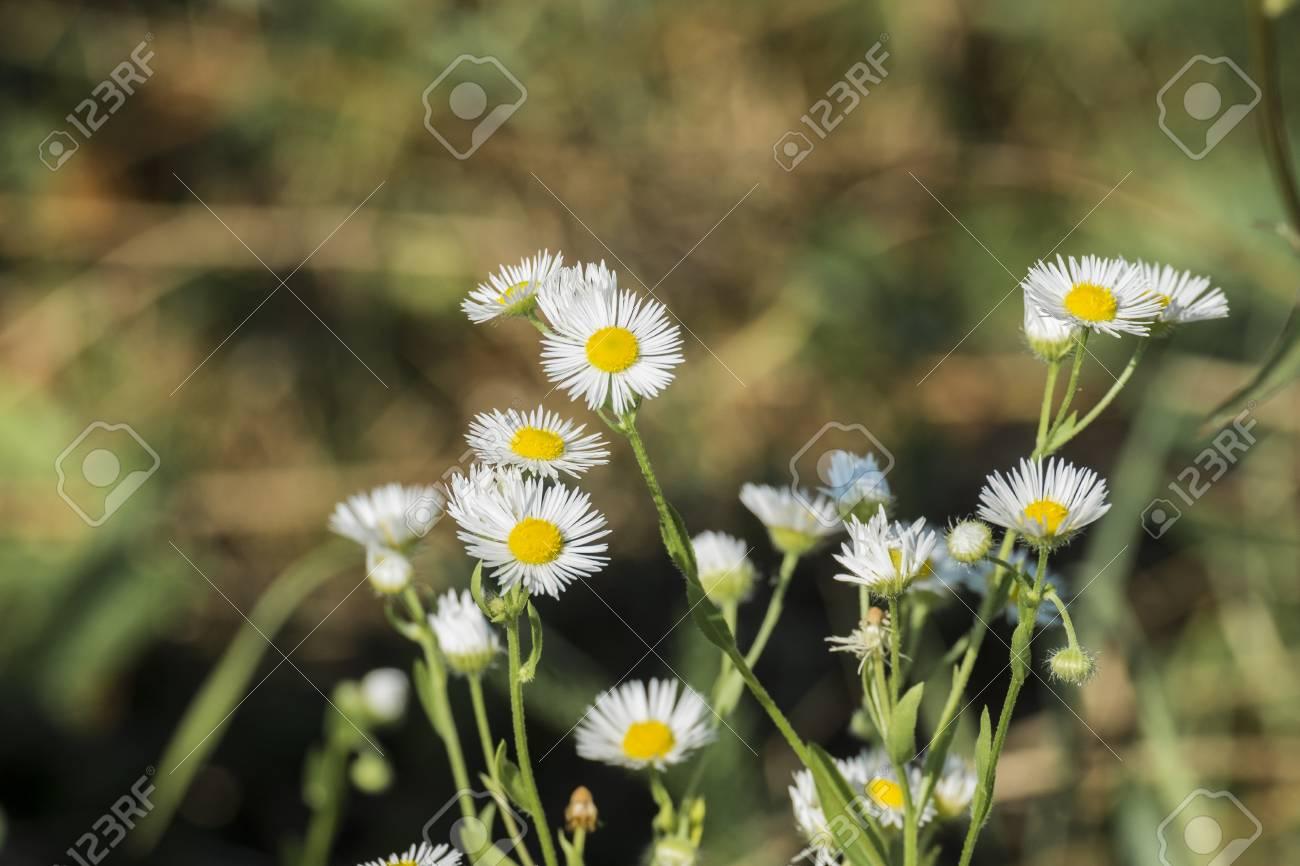 Miniature white flowers daisy fleabane with small petals and stock miniature white flowers daisy fleabane with small petals and yellow centers erigeron annuus stock mightylinksfo