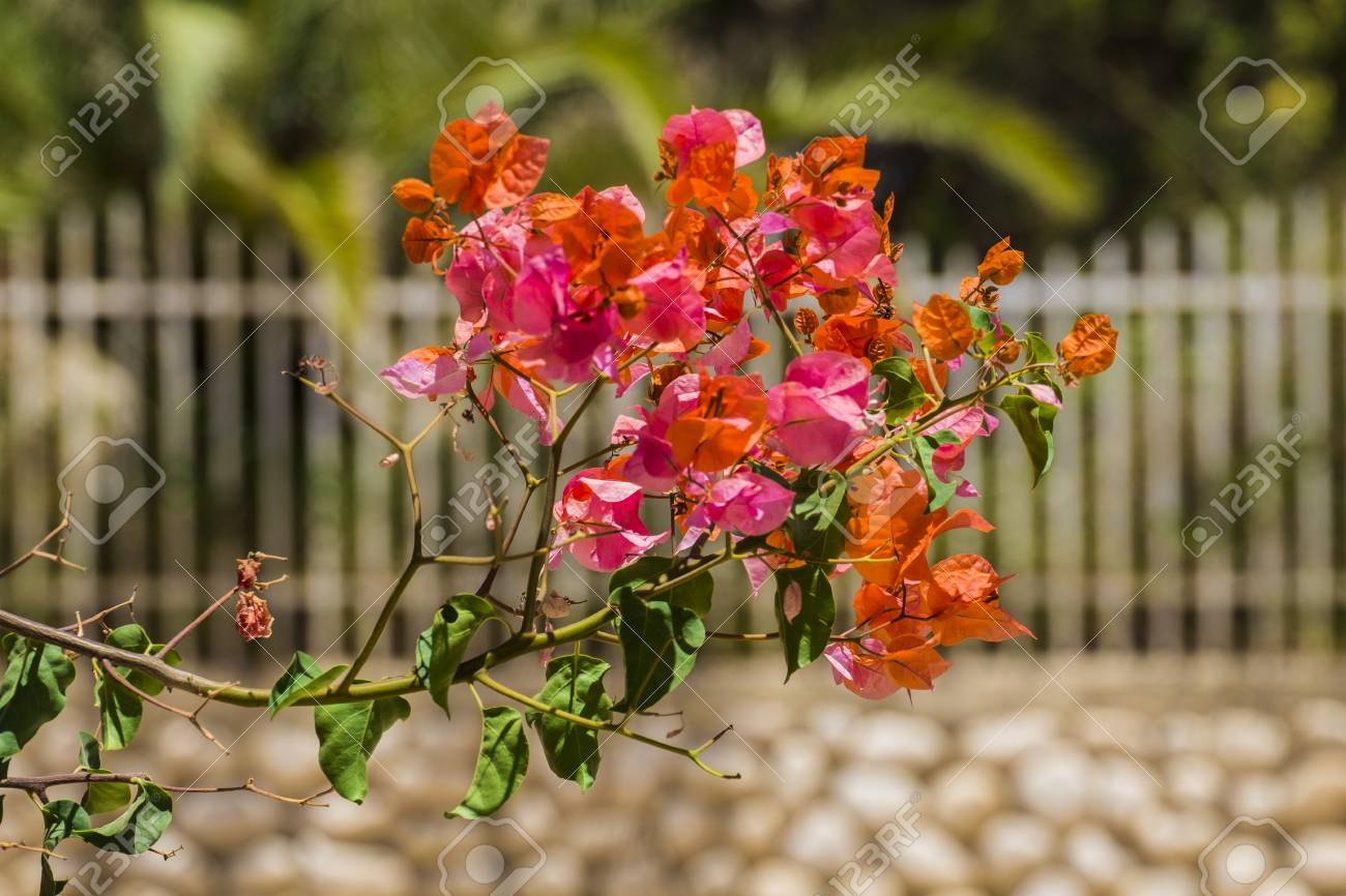 Coral pink flowers of the evergreen shrub bougainvillea coral pink flowers of the evergreen shrub bougainvillea bougainvillea glabra stock photo mightylinksfo