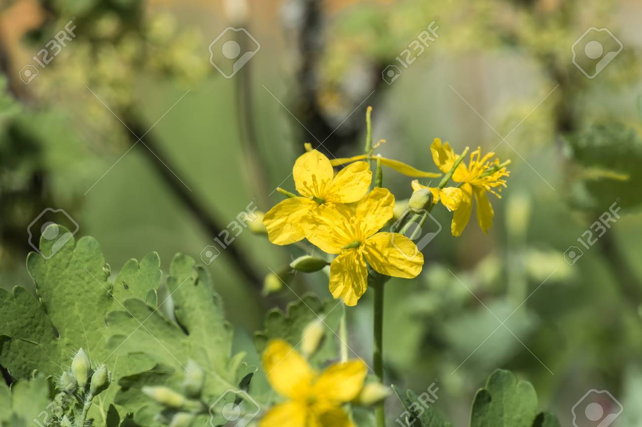 Medicinal herbs bright yellow flowers greater celandine chelidonium medicinal herbs bright yellow flowers greater celandine chelidonium majus stock photo 100675302 mightylinksfo