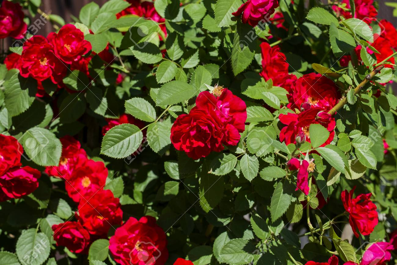 Pictures of a rose bush