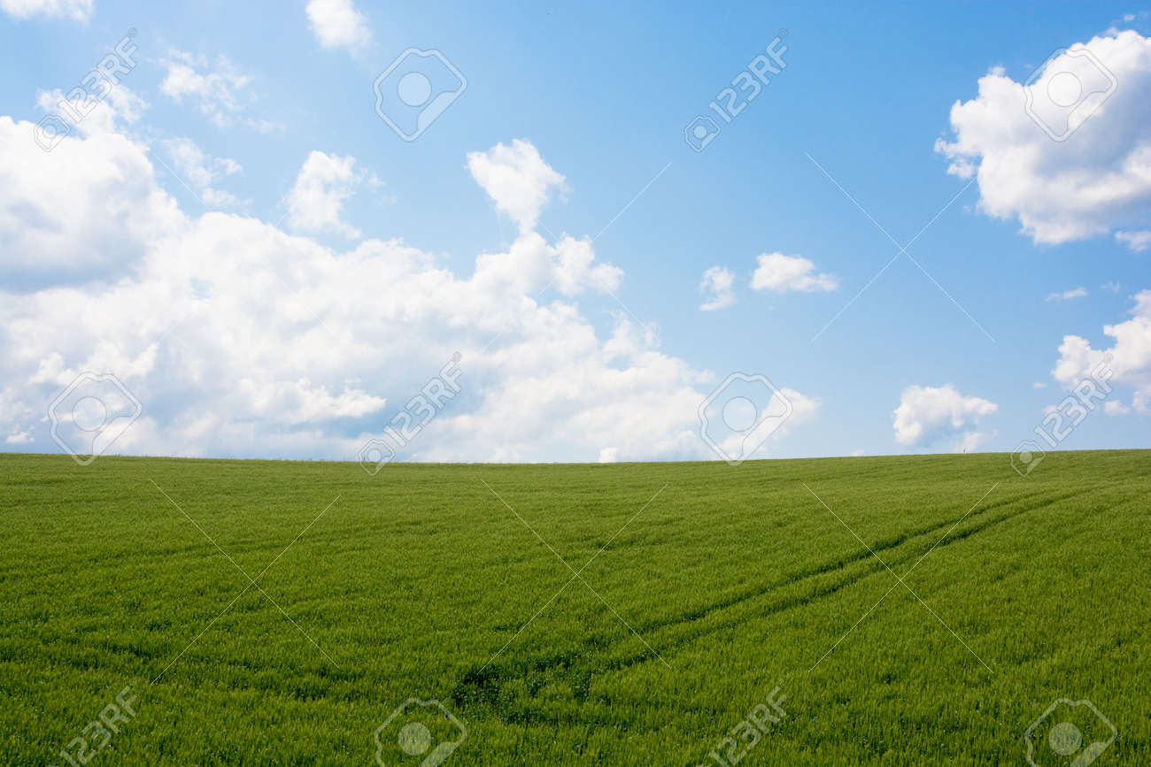 Green wheat field with blue sky - 146029058