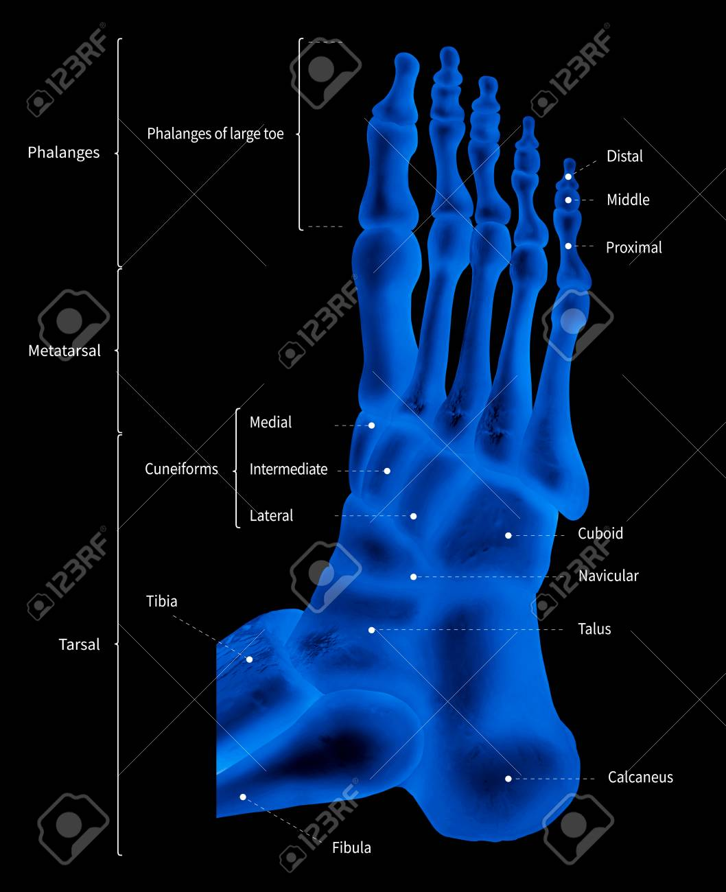 Infographic Diagram Of Human Foot Bone Anatomy System Lateral