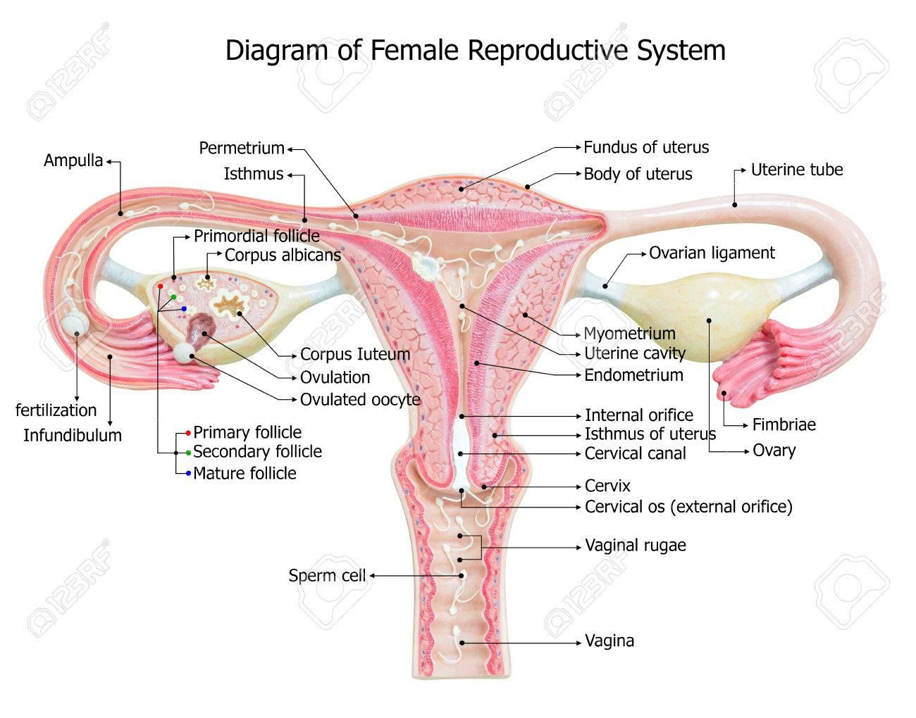 Tolle Weibliche Fortpflanzungssystem Bilder Bilder - Anatomie Von ...