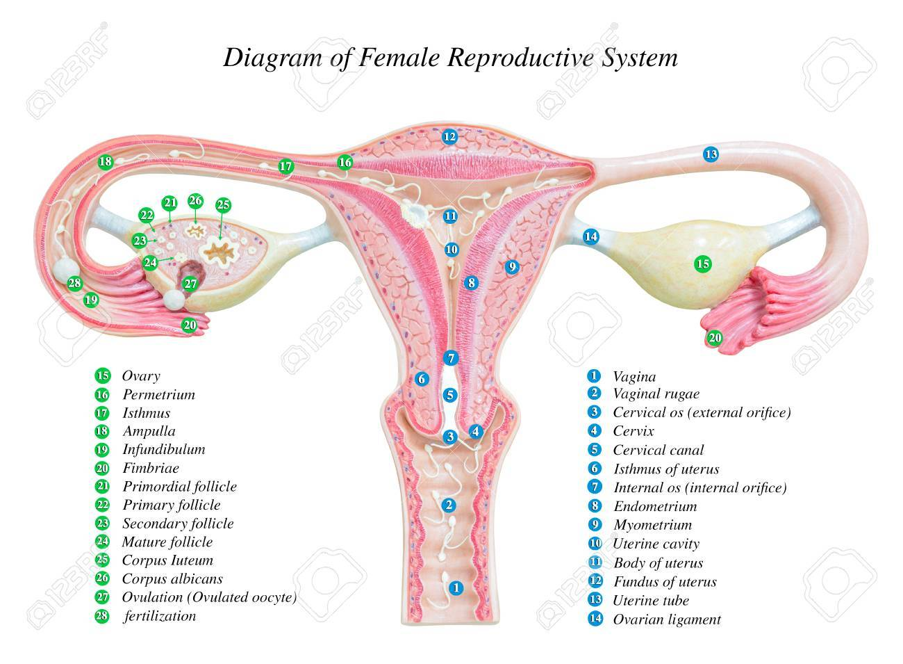 Female Reproductive System Image Diagram Stock Photo Picture And