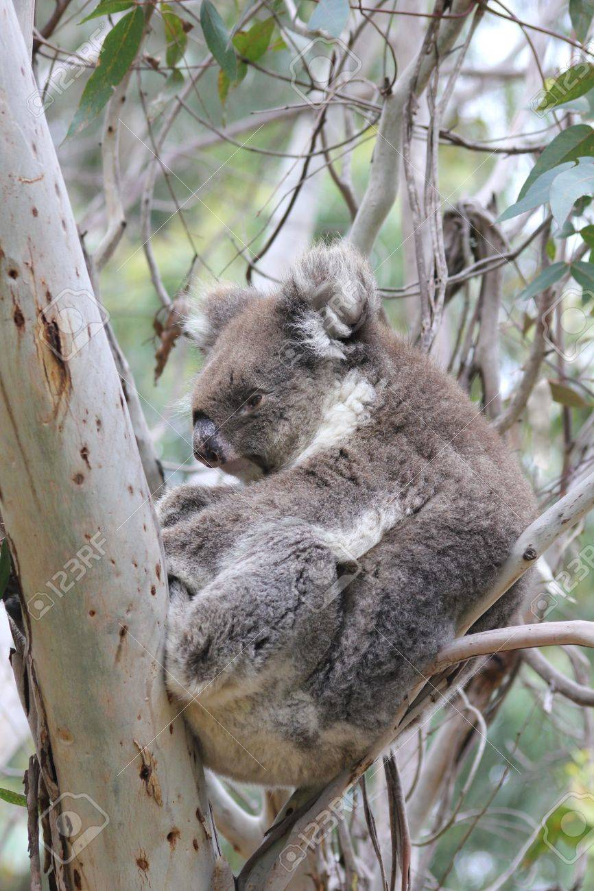 ユーカリの木で寝ているオーストラリア コアラ