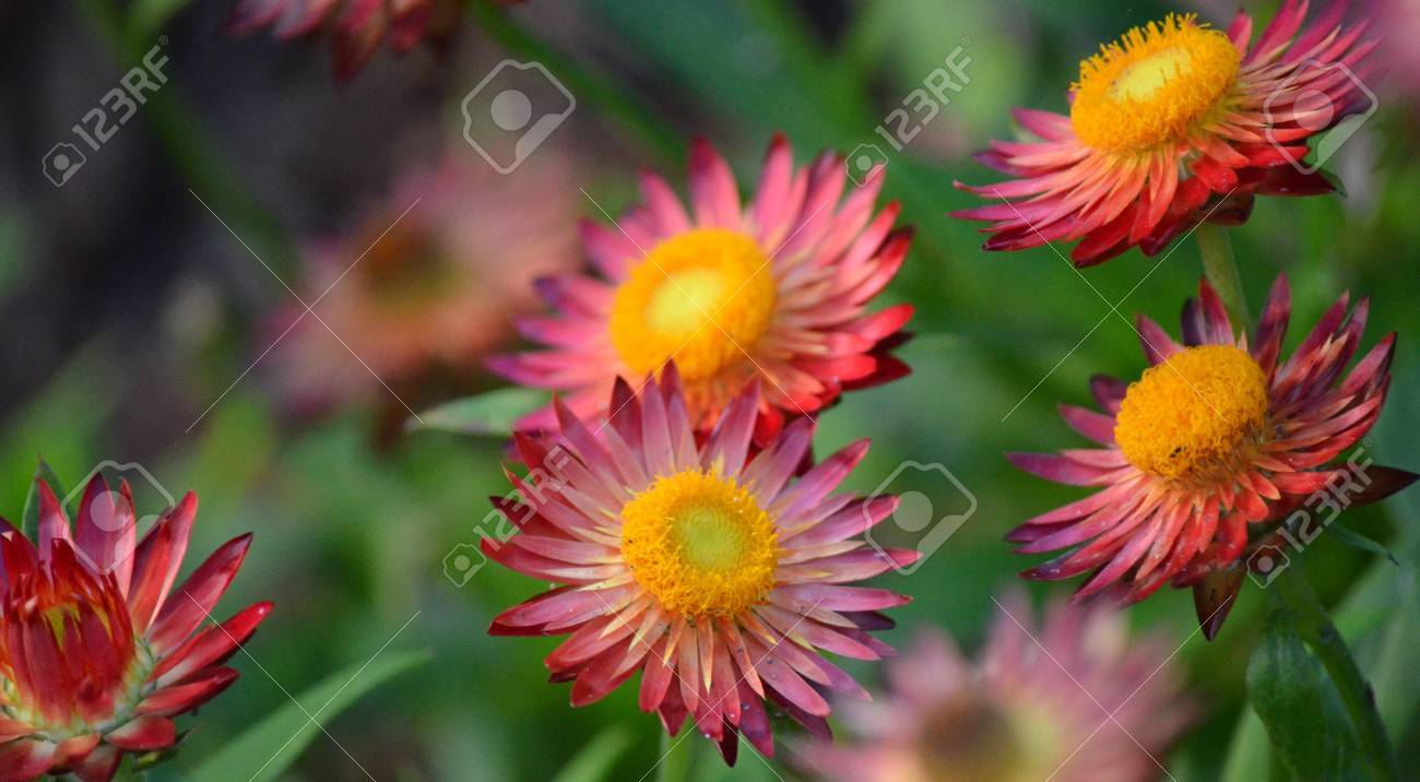 Purple And Red Flowers With Yellow Center In A Garden Stock Photo