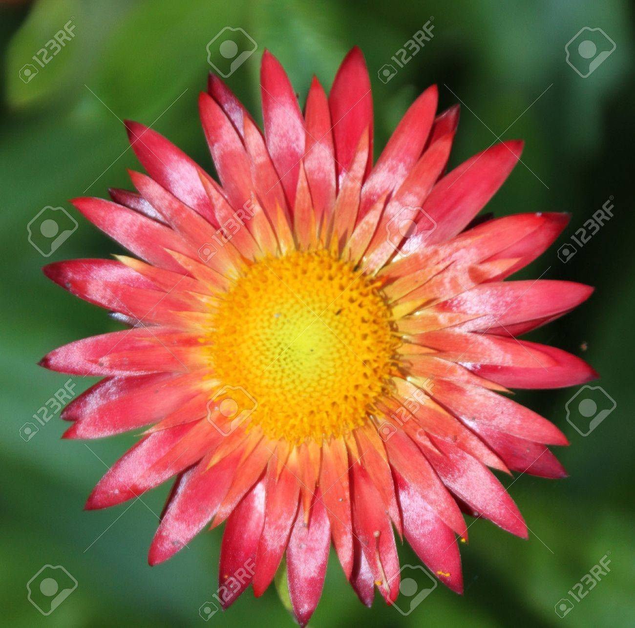 Single Red Flower With Yellow Center In A Garden Stock Photo