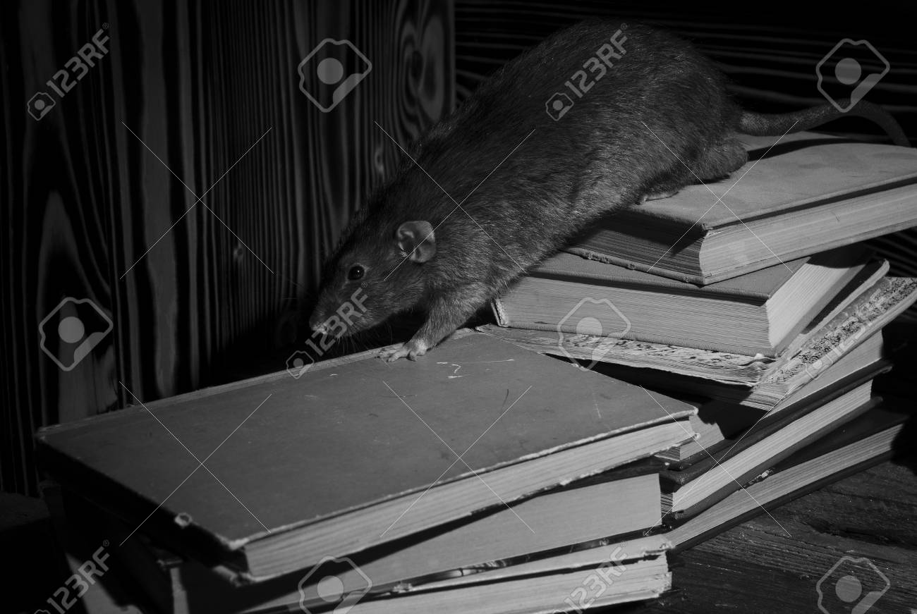 Decorative rat with old books in the library in black and white stock photo