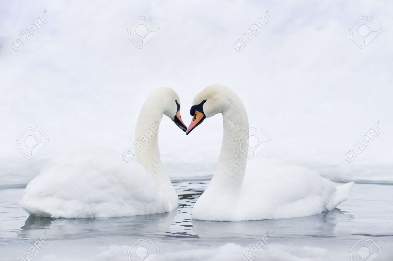 Couple of swans forming in water forming heart Stock Photo - 2925622