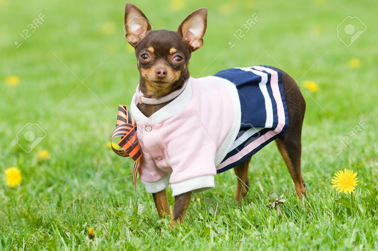 Funny little dog in clothing standing in green grass Stock Photo - 3126305