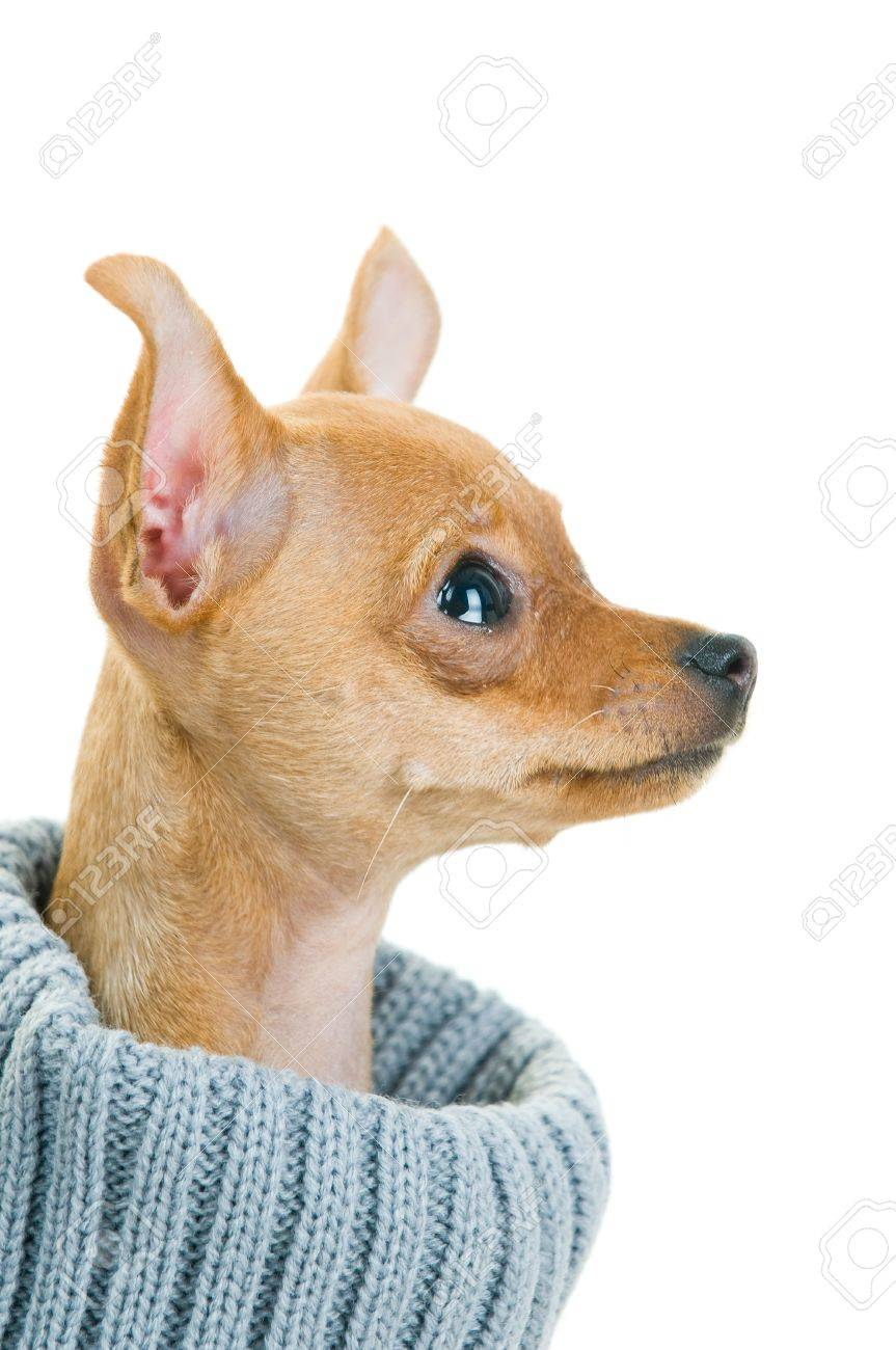 Close-up of Chihuahua dog in sweater, isolated on white background Stock Photo - 3972366