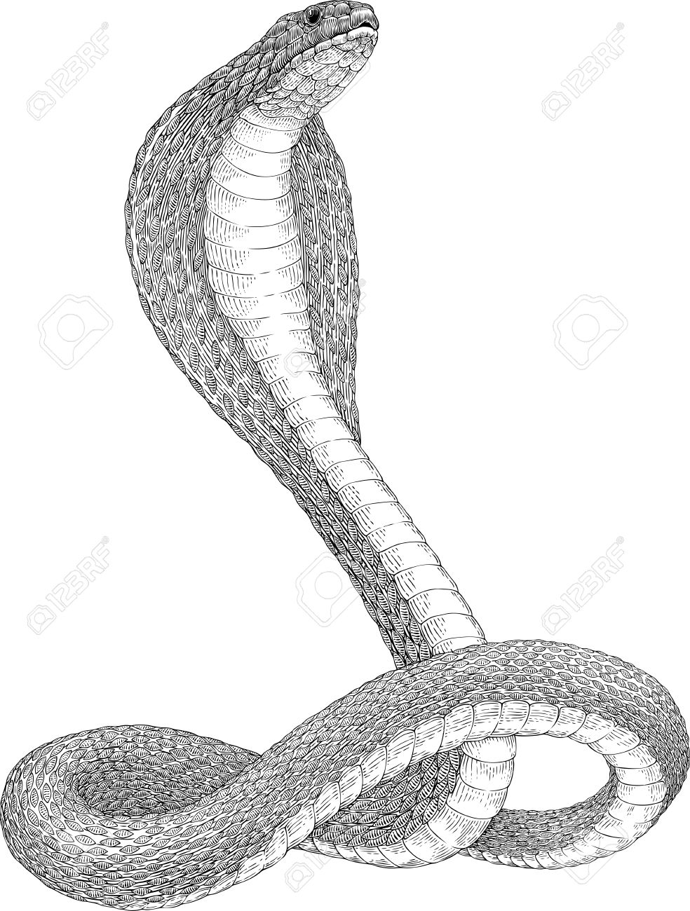 black and white vector illustration of king cobra snake royalty free