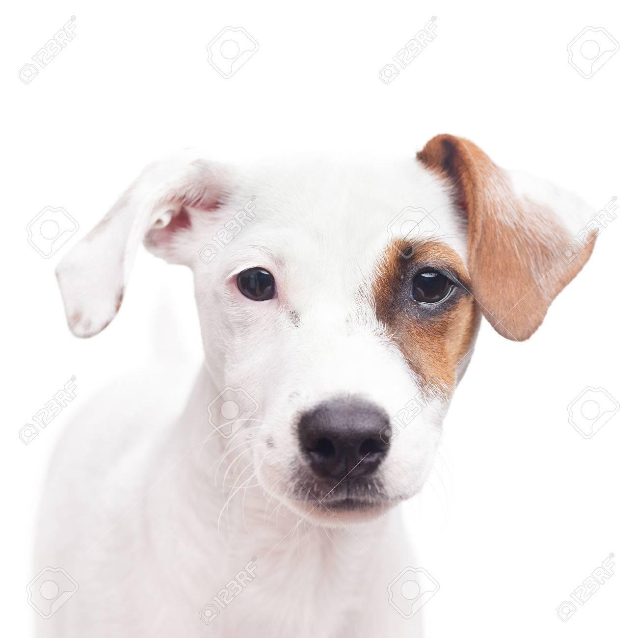 adorable young jack russell terrier with one brown spot on the