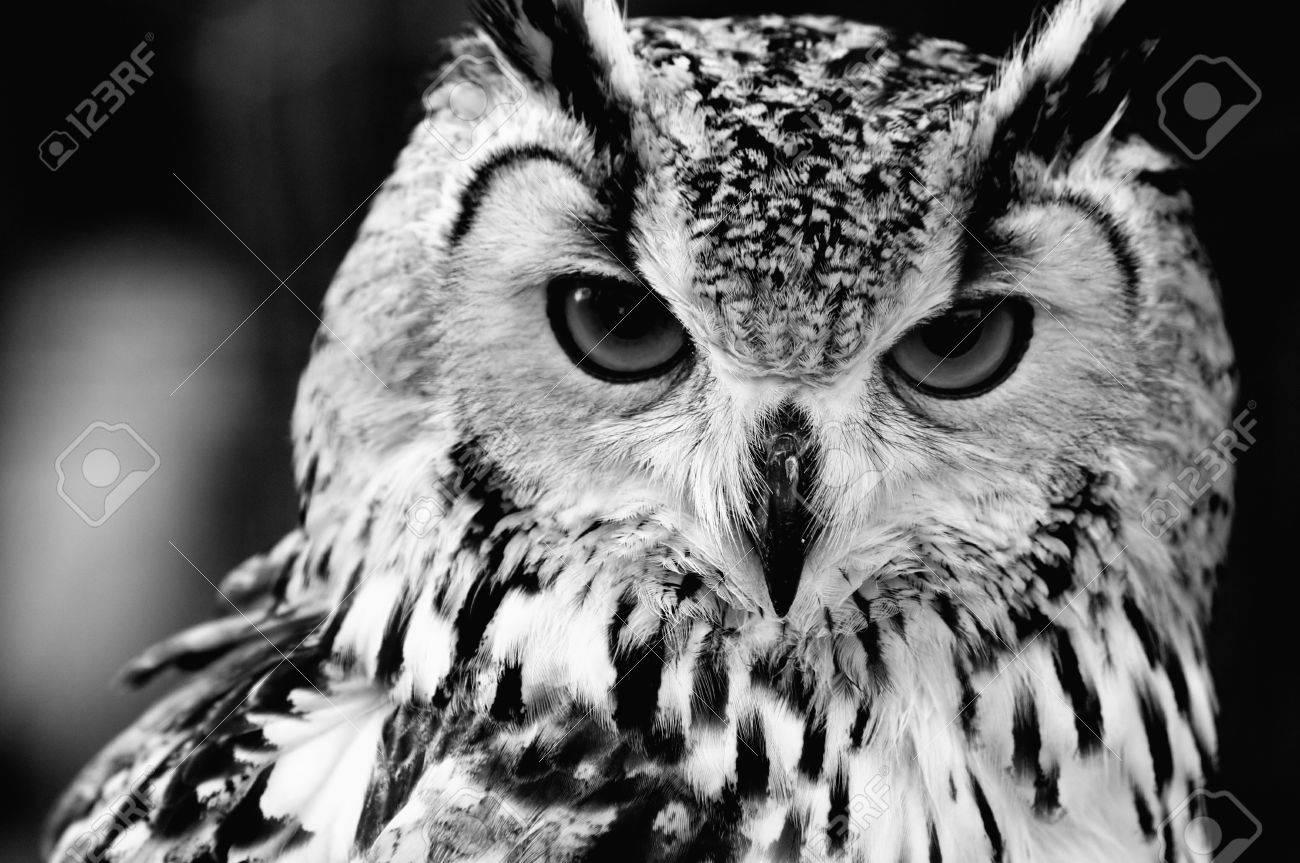 Eurasian eagle owl bubo bubo black and white close up portrait