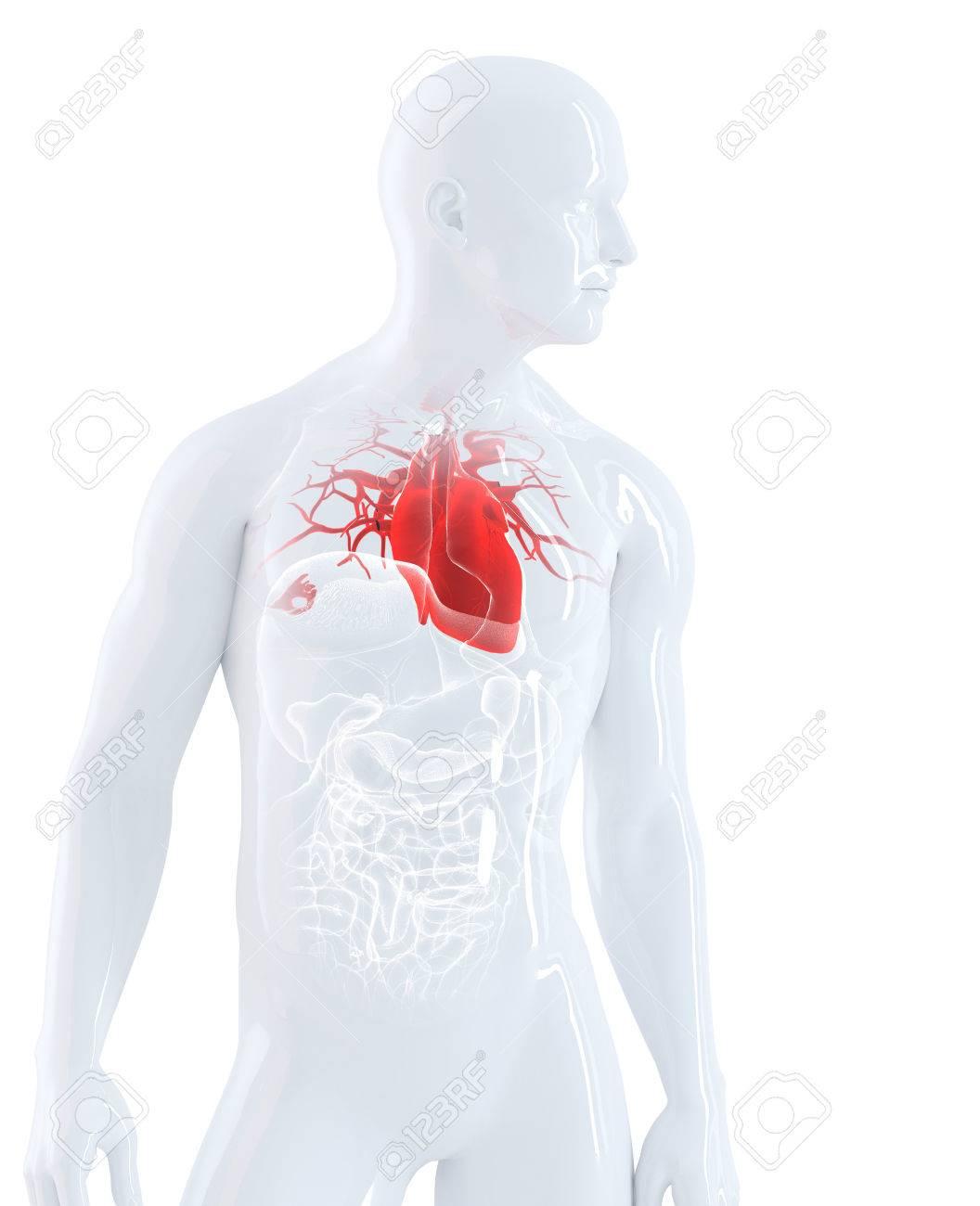 Atemberaubend Anatomie Und Physiologie Des Menschlichen Herzens ...