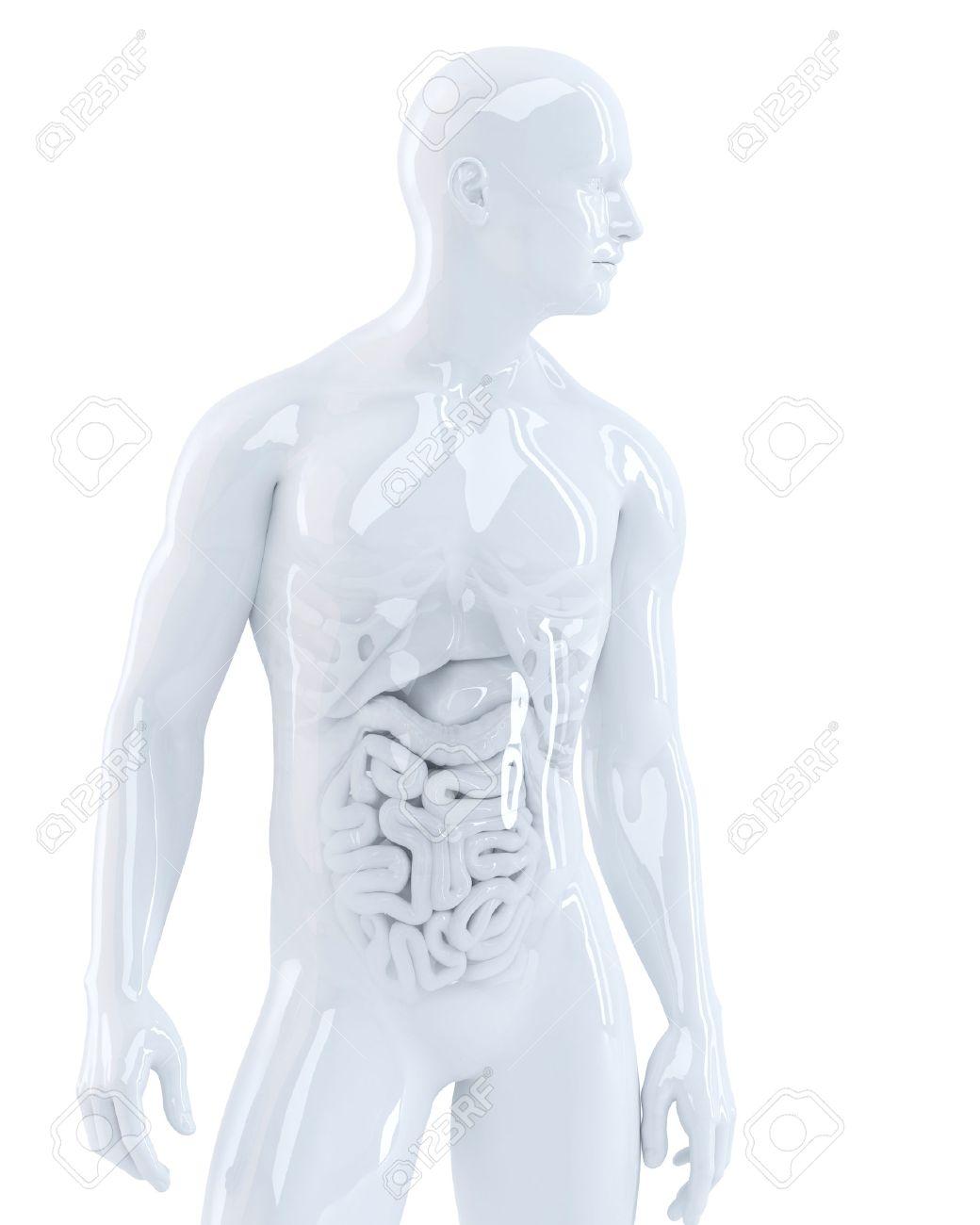 Cuerpo Humano Con Los órganos Internos. 3d Ilustración. Aislado ...