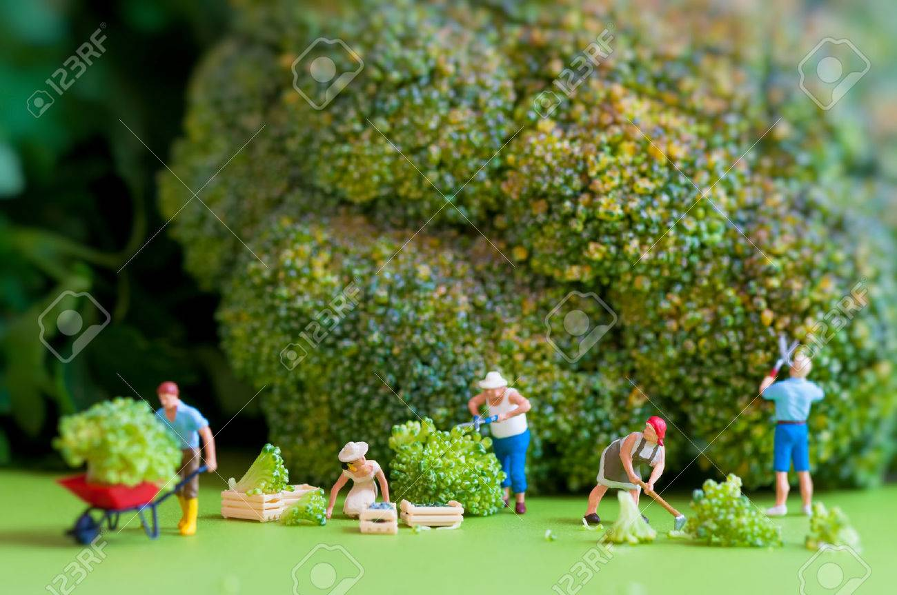 Group of farmers harvesting a giant cauliflower  Macro photography Standard-Bild - 30162339