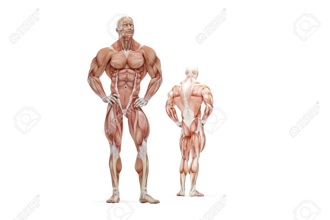 人体の筋肉の解剖学 3 D イラスト分離されました の写真素材画像