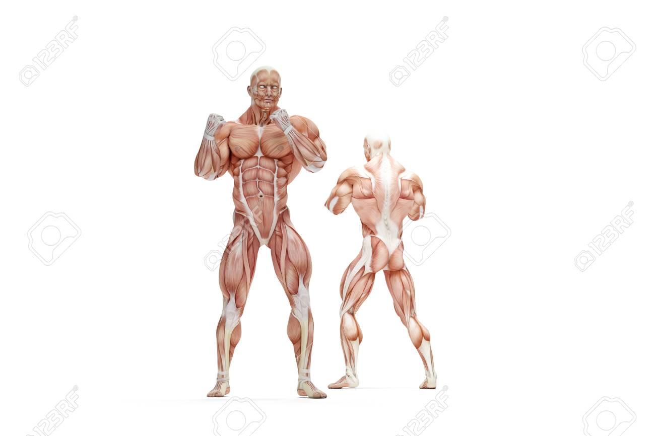 Human Muscles Anatomy 3d Illustration Isolated Stock Photo