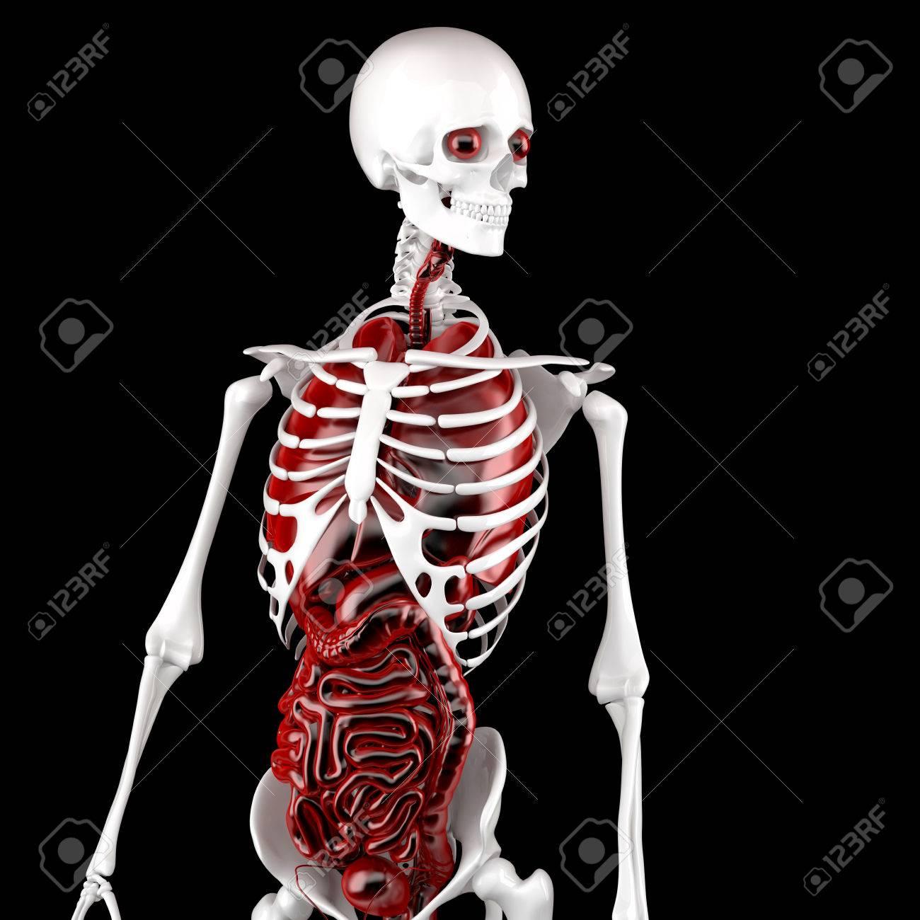 Human Male Anatomy. Skeleton And Internal Organs. 3D Illustration ...