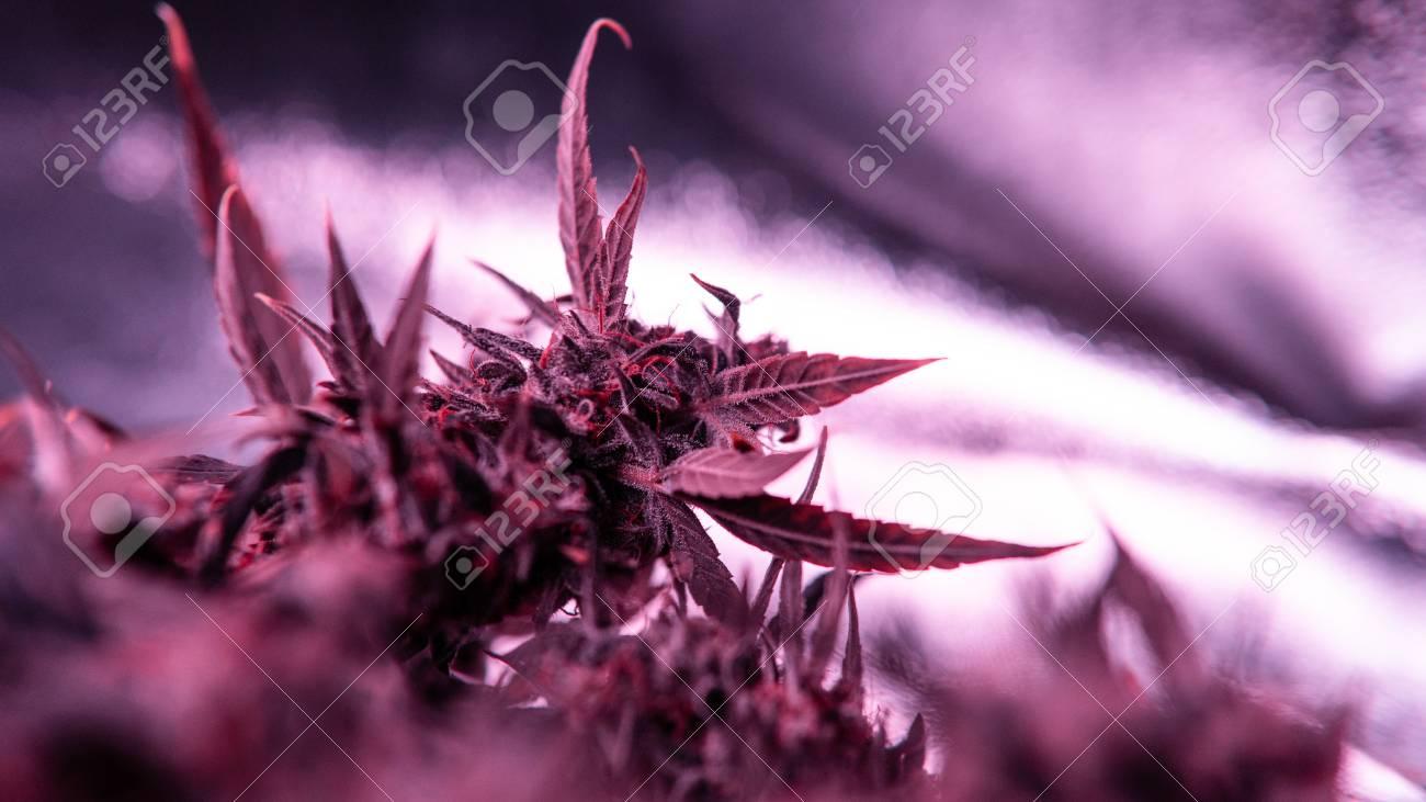 Purple Trichomes