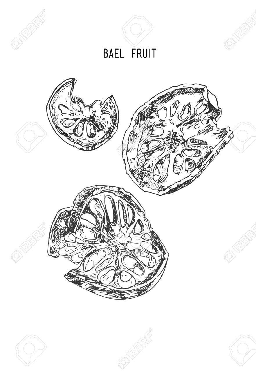 Bael fruit , Sketch line art hand drawn illustration. - 71316353