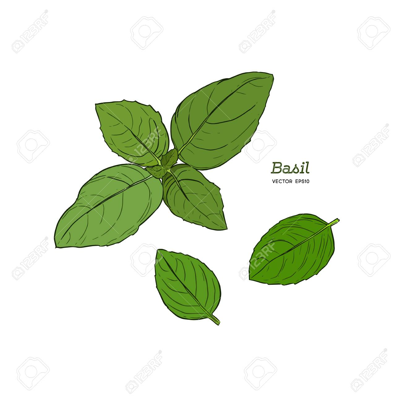 Basil Leaves Vector Illustration For Design Menus Recipes And