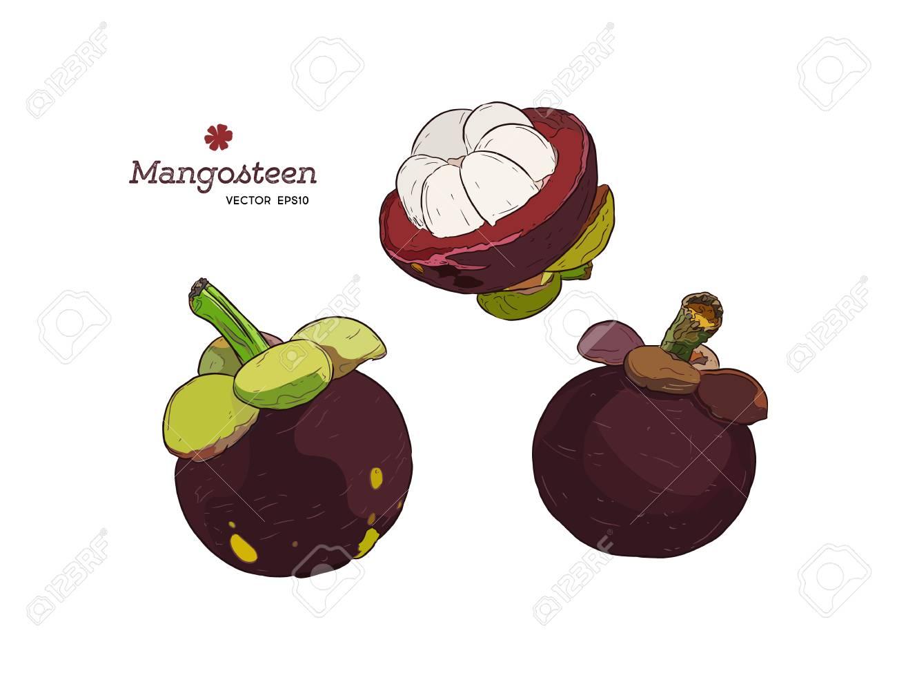 Set Of Hand Drawn Mangosteen Tropical Fruit Fresh Organic Food