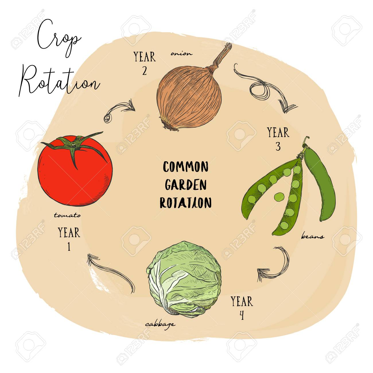 Crop rotation is the practice of growing a series of dissimilar or different types of crops in the same area in sequenced seasons. Hand draw sketch vector crop rotation series. - 114705327