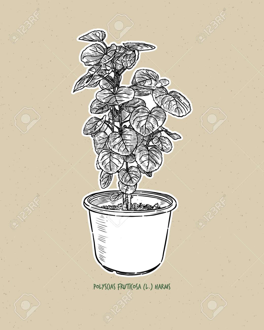 Polyscias fruticosa (L.) Harms. Polyscias fruticosa, or Ming Aralia, hand draw sketch vector. - 165340365