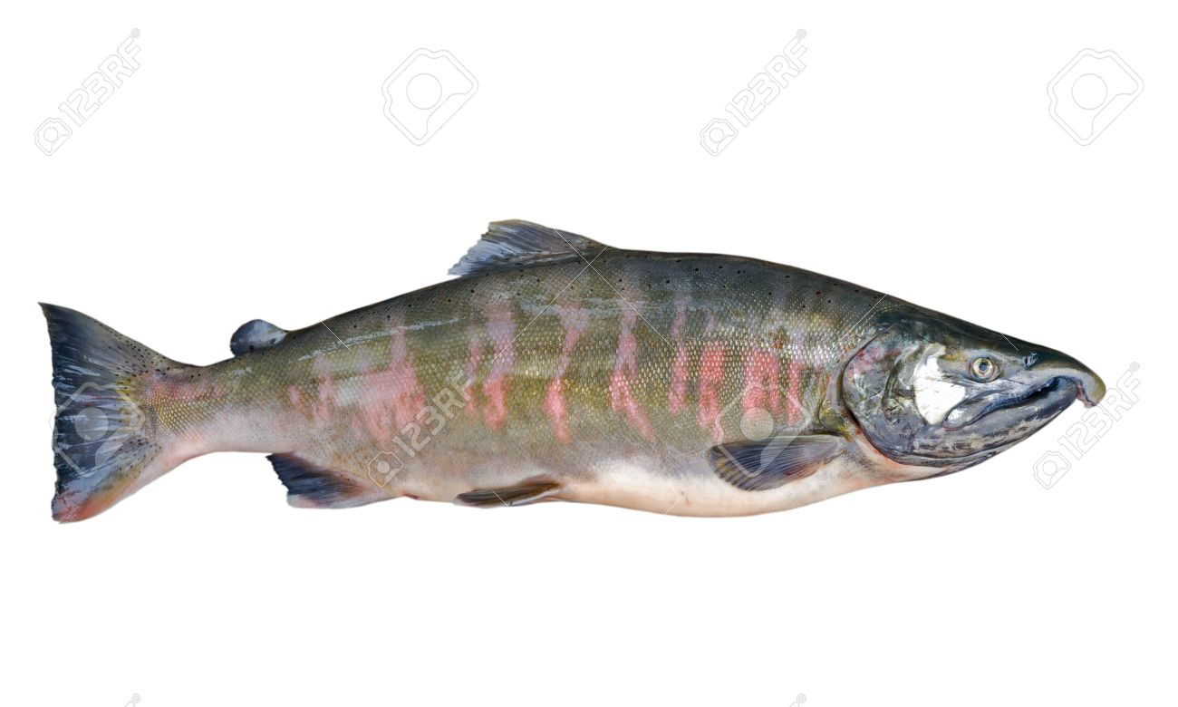 A close up of the salmon (Oncorhynchus masou). Male. Isolated on white. Stock Photo - 6551048