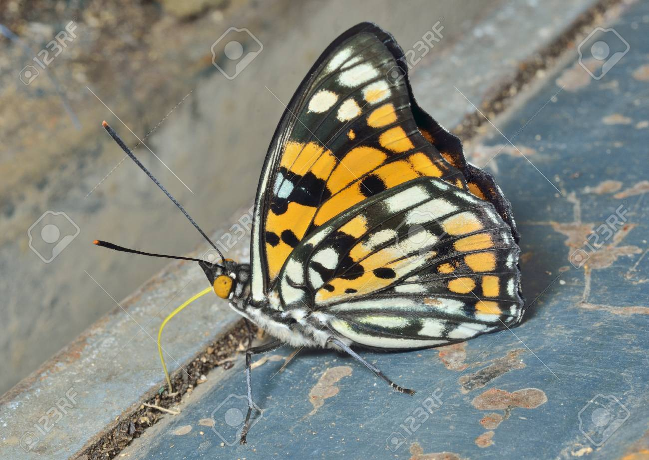 Bộ sưu tập cánh vẩy 4 - Page 7 61483691-a-close-up-of-the-butterfly-sephisa-dichroa-princeps-