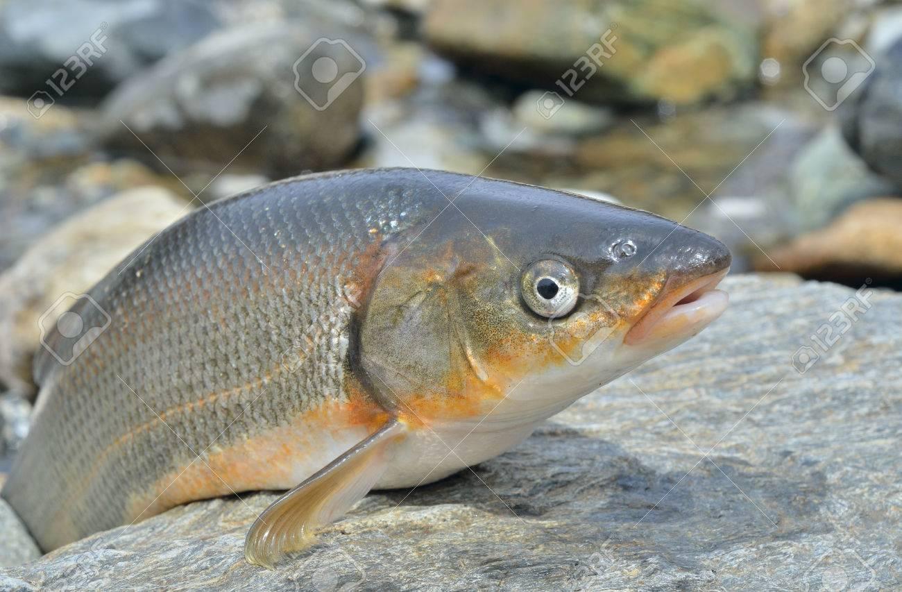 魚 (魚類 Brandti) の。黒に分離...