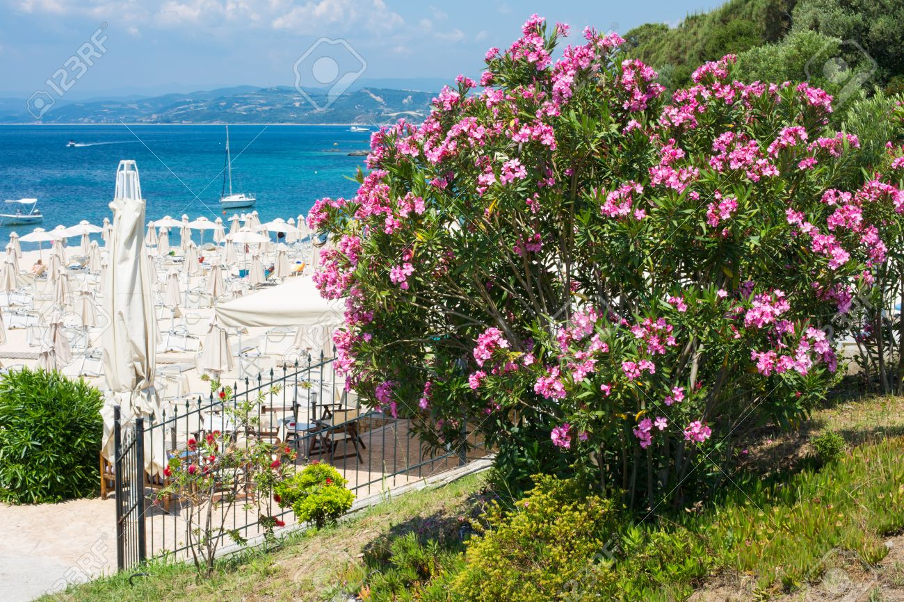 Large pink oleander flowers bush beach with umbrellas blue stock large pink oleander flowers bush beach with umbrellas blue sea white boats mightylinksfo