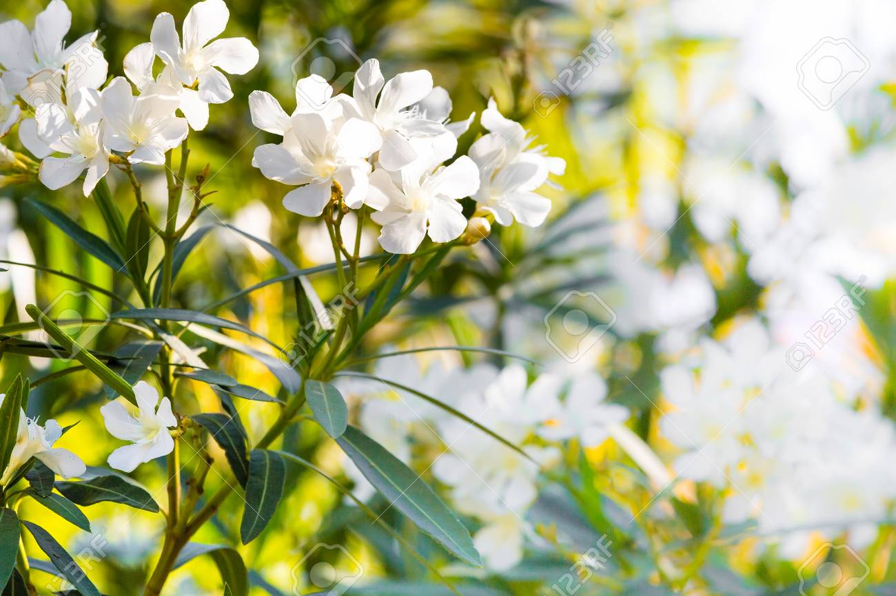 White oleander flowers spring or summer holiday background stock stock photo white oleander flowers spring or summer holiday background mightylinksfo