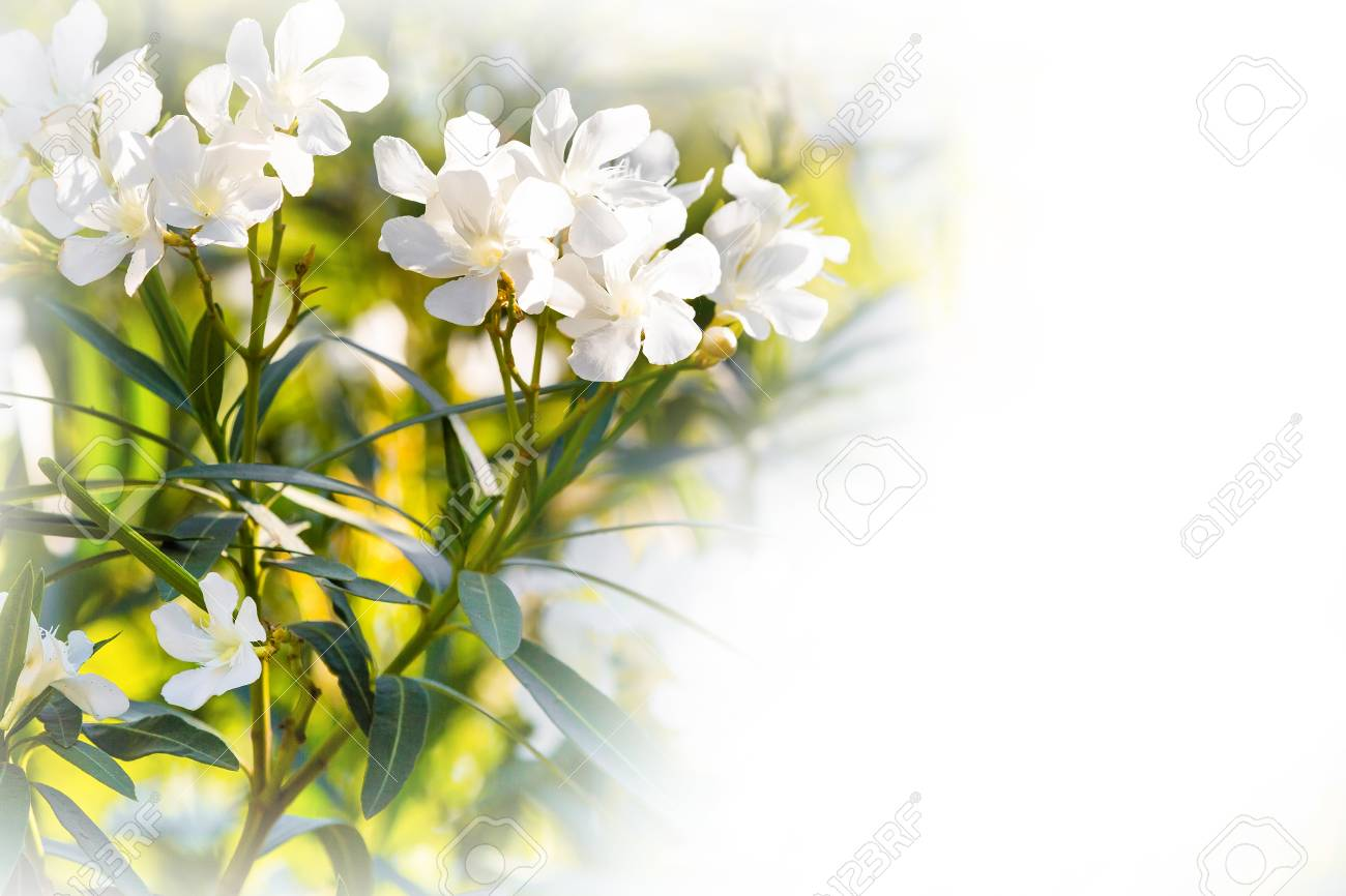 White oleander flowers spring or summer holiday background with stock photo white oleander flowers spring or summer holiday background with copyspace mightylinksfo
