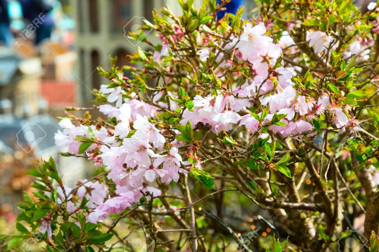 fond de printemps fleur rose amande arbre fleur banque d'images et