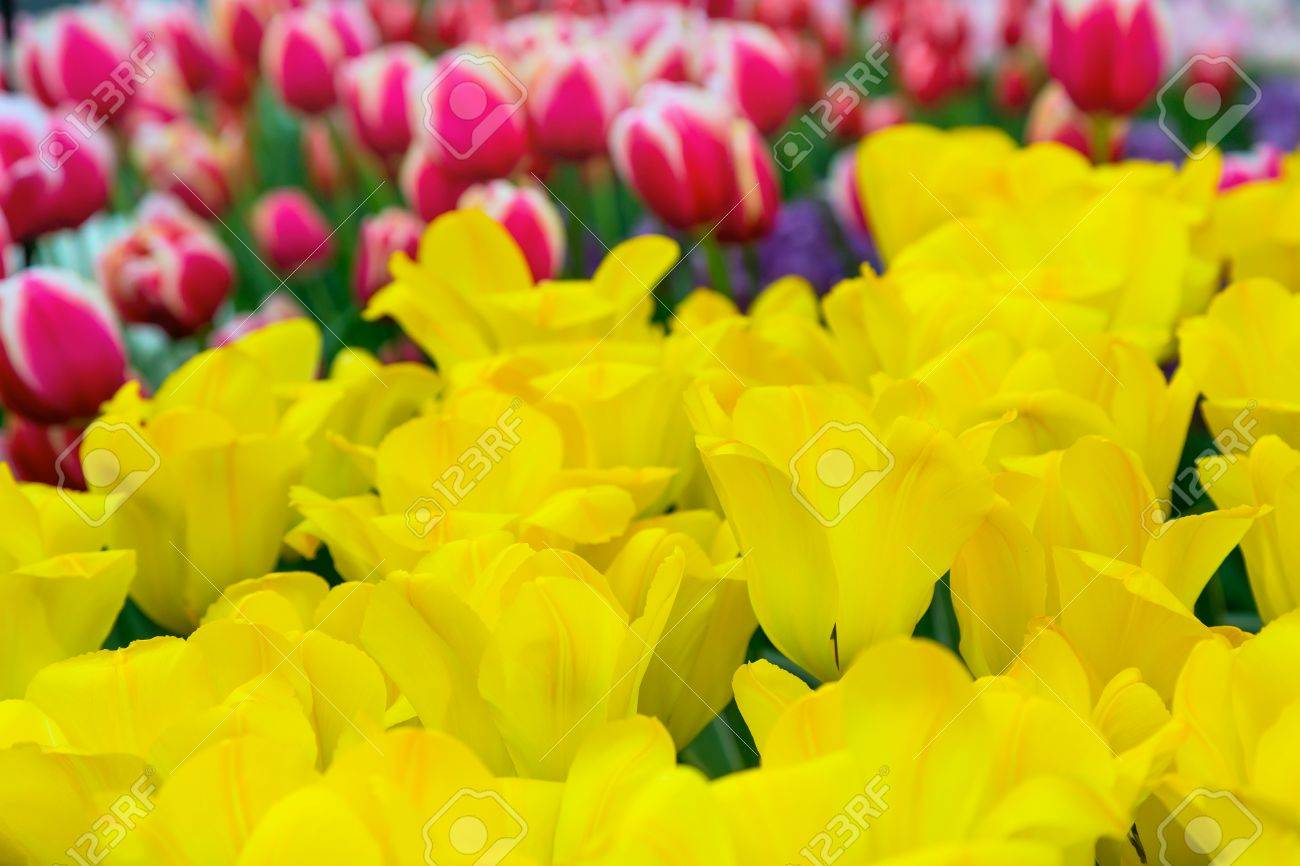 Colorful Panoramic Flowerbed Background With Yellow And Red Tulips